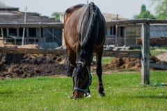 Pferdefohlen, das in eine Wiese geht Stockbilder