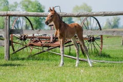 Pferdefohlen, das in eine Wiese geht Lizenzfreie Stockbilder