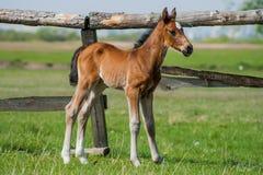 Pferdefohlen, das in eine Wiese geht Lizenzfreies Stockbild