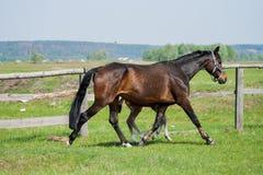 Pferdefohlen, das in eine Wiese geht Stockfotos