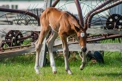 Pferdefohlen, das in eine Wiese geht Stockfotografie