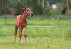 Pferdefohlengehen Stockbilder