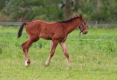 Pferdefohlengehen Lizenzfreies Stockfoto