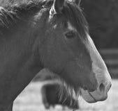 Pferdegesicht Lizenzfreies Stockfoto