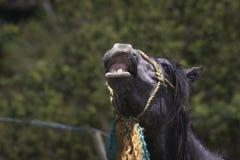 Pferdegesicht mit Lächeln lizenzfreie stockfotografie