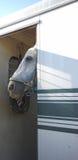 Pferdegleiche von seinem Anhänger nahe Stall Lizenzfreie Stockbilder