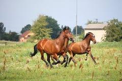 Pferdeherde, die frei am Feld läuft Stockfotografie
