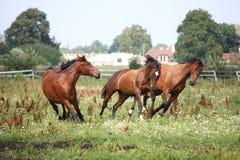 Pferdeherde, die frei am Feld läuft Lizenzfreies Stockbild