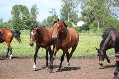 Pferdeherde, die frei am Feld läuft Stockbild