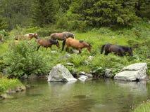 Pferdeherde durch Gebirgsfluss Stockbilder