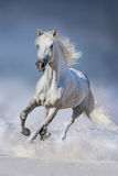 Pferdeherde gelaufen in Schnee Stockbilder