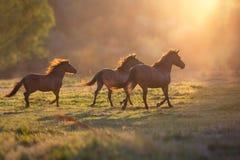 Pferdeherde laufen gelassen am Dämmerungslicht Stockbild