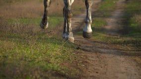 Pferdehufe, die über ein grünes Feld galoppieren Langsame Bewegung Abschluss oben stock footage