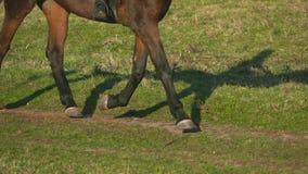 Pferdehufe, die über ein grünes Feld galoppieren Langsame Bewegung Abschluss oben stock video