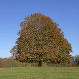 Pferdekastanienbaum (Aesculus hippocastanum) Conkerbaum im Herbst, Lengerich, Nordrhein-Westfalen, Deutschland Lizenzfreie Stockbilder