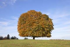Pferdekastanienbaum (Aesculus hippocastanum) Conkerbaum im Herbst, Lengerich, Nordrhein-Westfalen, Deutschland Stockfotografie