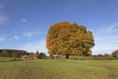 Pferdekastanienbaum (Aesculus hippocastanum) Conkerbaum im Herbst, Nordrhein-Westfalen, Deutschland Lizenzfreies Stockfoto