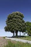 Pferdekastanienbaum, Aesculus hippocastanum im Frühjahr, Deutschland Stockfotos