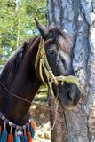 Pferdekopf Stockfoto