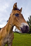 Pferdekopf Lizenzfreie Stockfotos