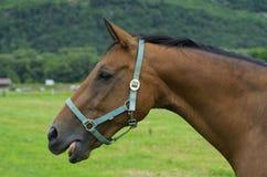 Pferdekopf stockbild