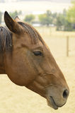 Pferdekopf im Profil Lizenzfreie Stockfotos