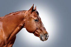 Pferdekopf poritrait Lizenzfreies Stockbild
