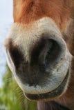 Pferdekopf, Schnauze stockfotografie