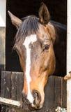 Pferdekopfporträt - schönes braunes Pferd, das über Stall schaut lizenzfreie stockfotografie