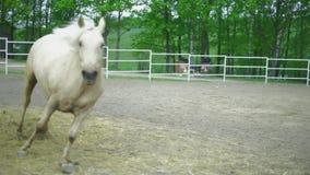 Pferdeläufe galoppieren in einen Kreis, auf einem Zaum hd stock footage