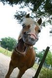 Pferdelachen Stockfotografie