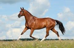 Pferdelack-läufer Lizenzfreies Stockfoto