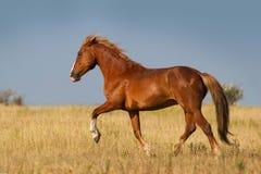 Pferdelauf Stockfotos