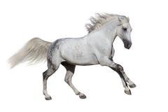 Pferdelaufgalopp stockfoto
