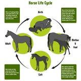Pferdelebenszyklus-Diagramm Lizenzfreie Stockfotos