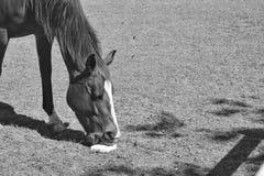 Pferdeleckstein Stockbild