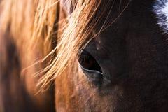 Pferden-Auge Stockbild