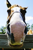 Pferden-Gesicht Lizenzfreies Stockfoto