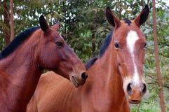 Pferden-Gesichter Lizenzfreies Stockfoto