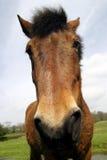 Pferden-Portrait stockbild