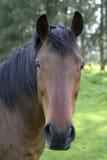 Pferden-Portrait Lizenzfreie Stockfotos