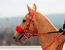 Pferden-Portrait. Stockbild