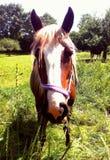 Pferdenahaufnahme Lizenzfreie Stockfotografie