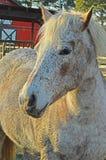 Pferdenahaufnahme während des Sonnenuntergangs Lizenzfreie Stockfotos