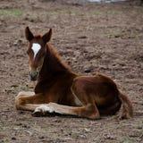 Pferdenfohlen, das aus den Grund sitzt Lizenzfreie Stockbilder