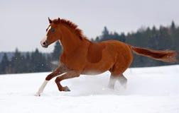Pferdengalopp auf Schnee Stockfotos