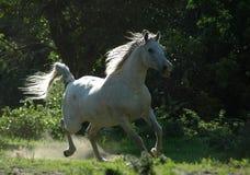 Pferdengaloppieren Stockfoto
