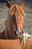Pferdengesicht Lizenzfreie Stockfotos