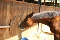 Pferdengetränkwasser Lizenzfreie Stockfotografie