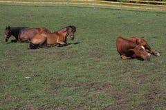 Pferdeniederlegung Lizenzfreie Stockfotografie